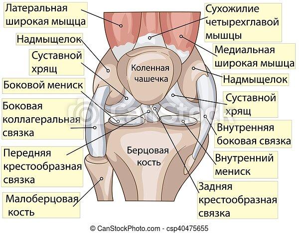 Anatomy. structure knee joint vector. Anatomy. knee joint cross ...