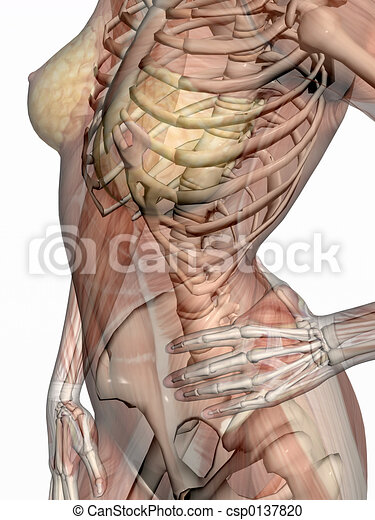 Anatomy, transparant muscles with skeleton. - csp0137820