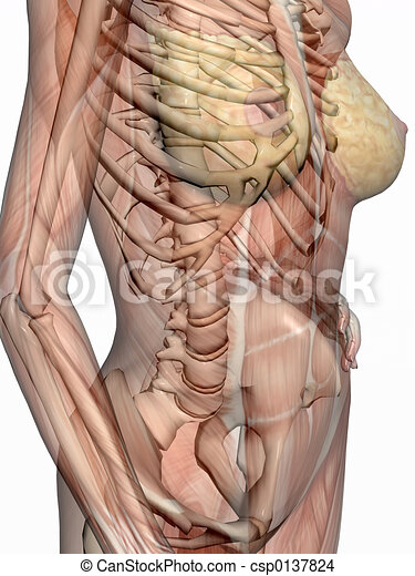 Anatomy, transparnt muscles with skeleton. Anatomically correct ...