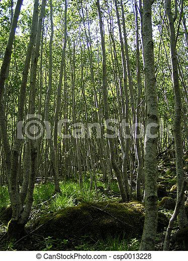 Ancient Birch Grove - csp0013228