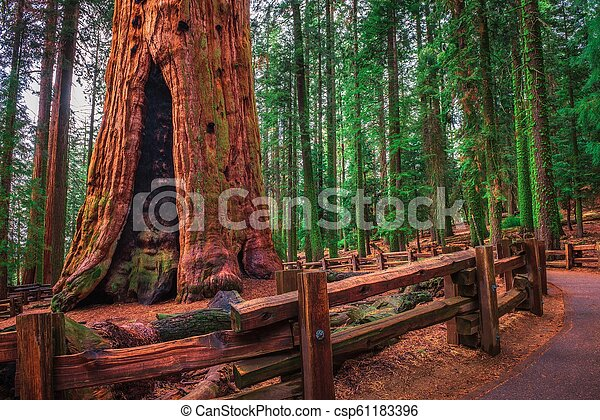 Ancient General Sherman Tree in Sequoia National Park - csp61183396