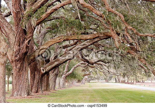 Ancient Oak Limbs Over Grassy Park - csp4153499