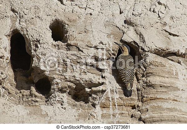 Andean Flicker - csp37273681