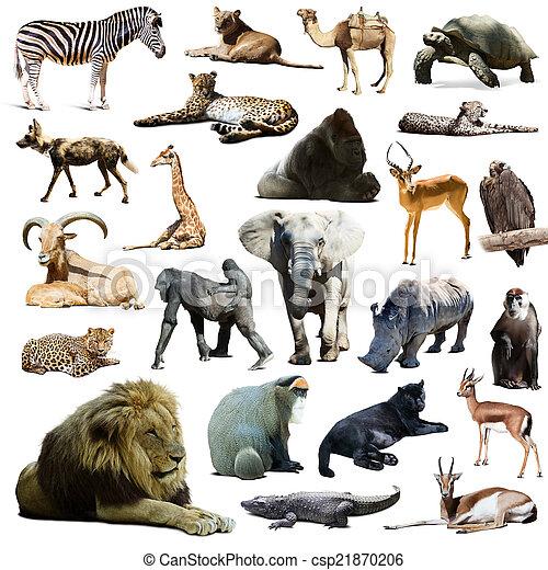 anderen, animals., leeuw, vrijstaand, witte , op, afrikaan - csp21870206