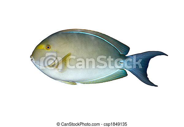 Angelfish en el acuario aislado - csp1849135