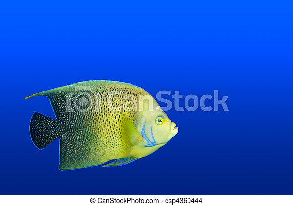 Angelfish en el acuario aislado - csp4360444