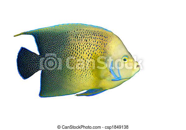 Angelfish en el acuario aislado - csp1849138