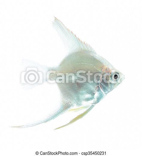 Angelfish (Pterophyllum scalare) is - csp35450231