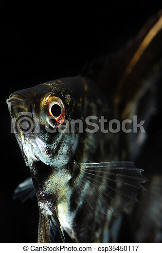 Angelfish (Pterophyllum scalare) isolated on black background - csp35450117