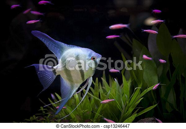 angle fish  - csp13246447