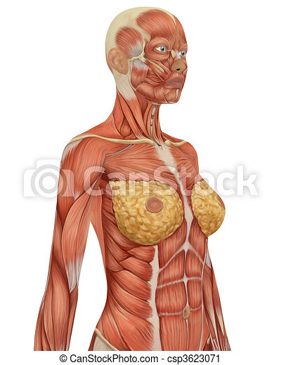 Angled view of the upper body of the female muscular anatomy.  - csp3623071