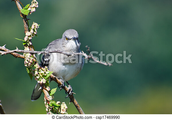 Angry Northern Mockingbird Perched in a Tree - csp17469990
