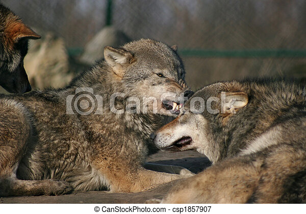 angry wolf - csp1857907