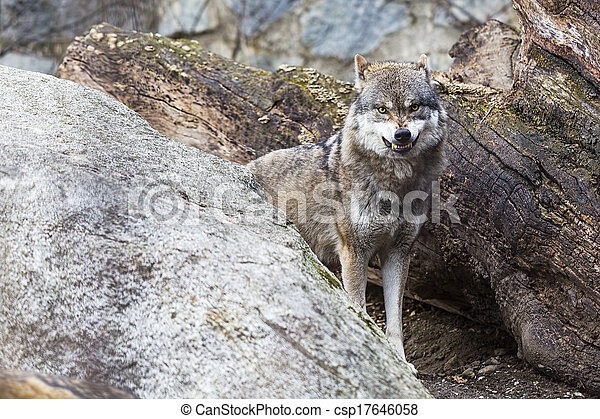 Angry Wolf - csp17646058