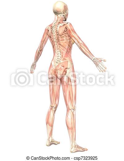 Angular, semi, muscular, anatomía, hembra, transparente, vista ...