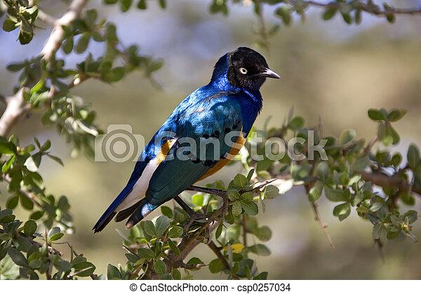 animais, 027, starling, lustroso - csp0257034