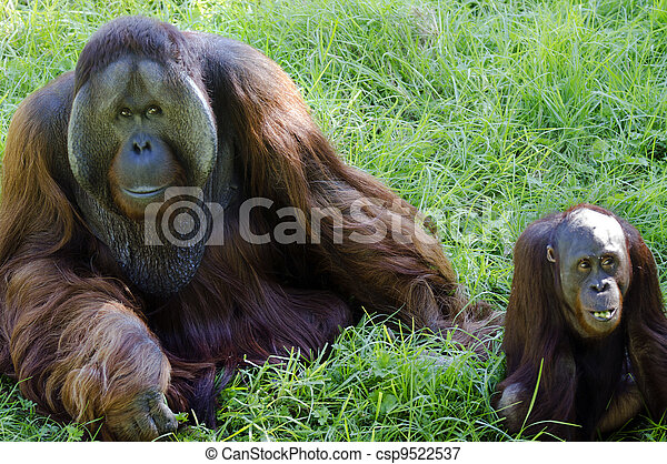 animais, fauna, -, orangotango - csp9522537
