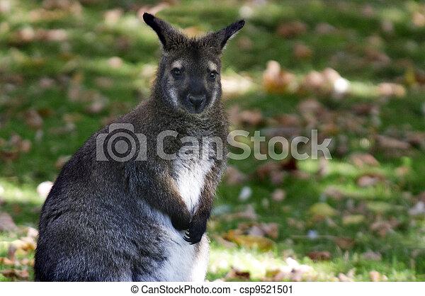 animais, fauna, -, wallaby - csp9521501
