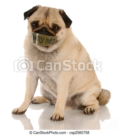 animal abuse or neglect - pug with tape on mouth ... why me? - csp2560758