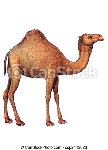 Animal Camel - csp2443023