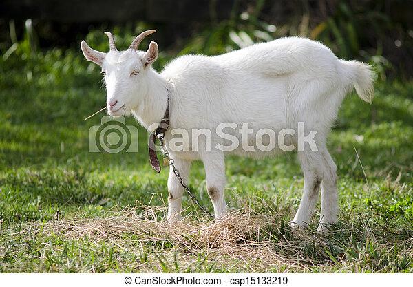 Animal Farm - Goat  - csp15133219