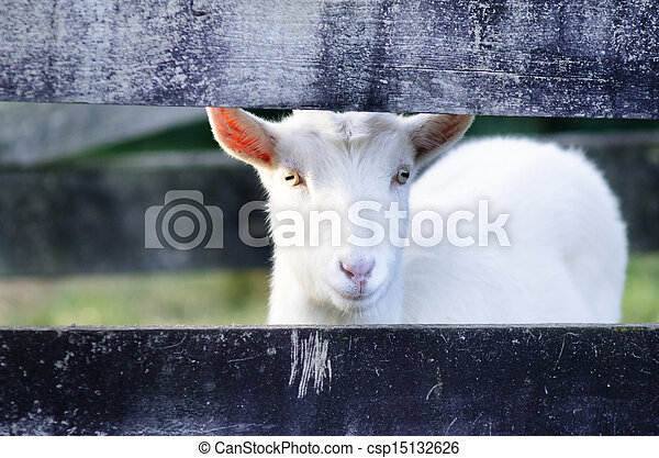 Animal Farm - Goat  - csp15132626