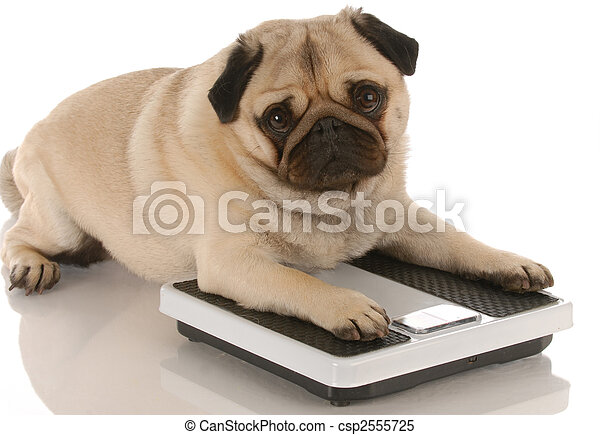animal health - cute pug dog laying on weigh scales - csp2555725