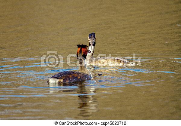 animal pair of wild birds Podiceps cristatus floating on water - csp45820712
