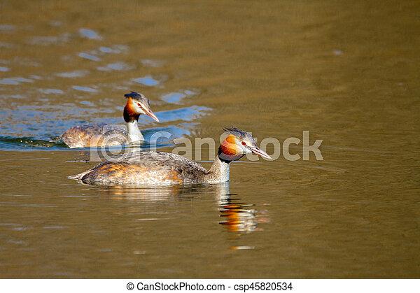 animal pair of wild birds Podiceps cristatus floating on water - csp45820534