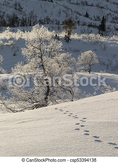 Animal tracks in the snow leading to a birch tree, Betula pubescens - csp53394138