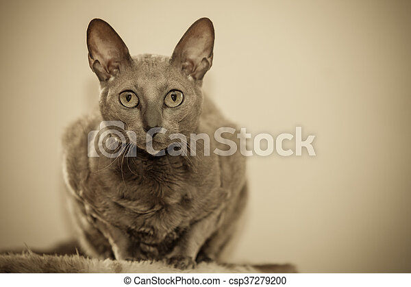 Animals at home. Egyptian mau cat portrait - csp37279200