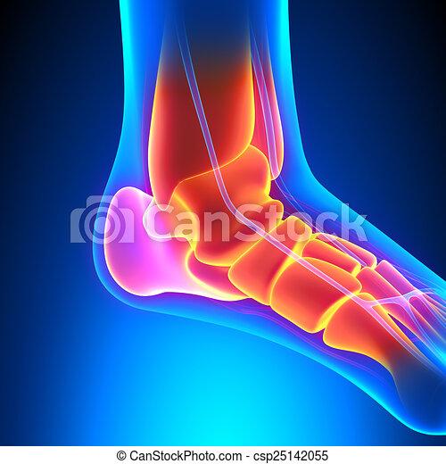 Ankle Bones Anatomy Pain Concept