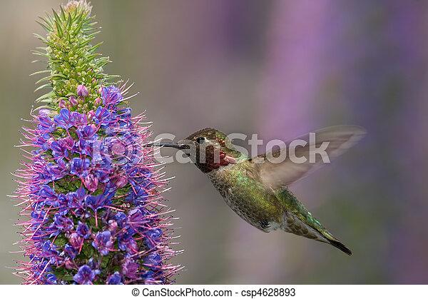 anna's, colibrí - csp4628893