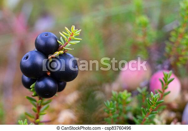 ansicht, swamp., crowberry, beeren, frisch, empetrum., aufschließen - csp83760496
