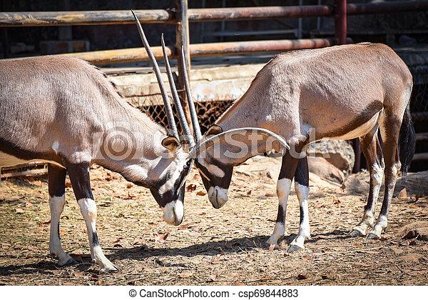 Luchar con gemsbok antelope / Oryx gacela animales salvajes del sur de África - csp69844883