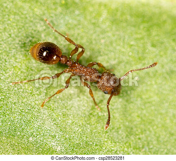 Ant on a green leaf. close - csp28523281