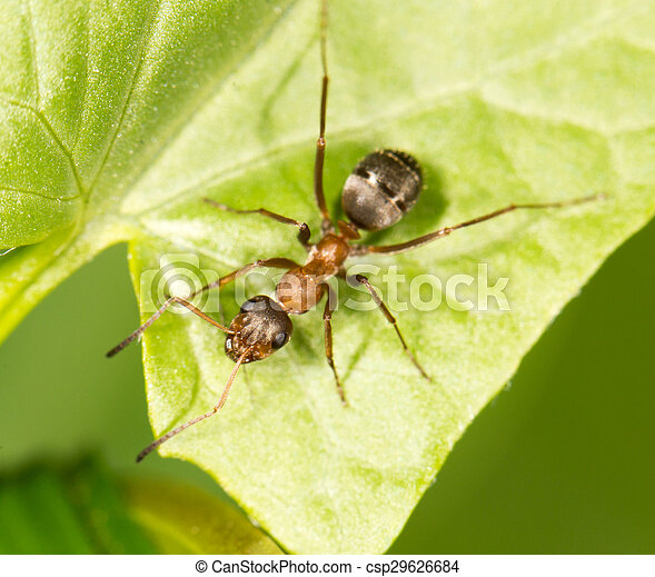 Ant on a green leaf. close - csp29626684