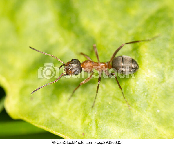 Ant on a green leaf. close - csp29626685