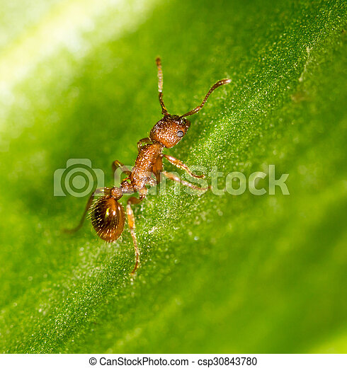 Ant on a green leaf. close - csp30843780
