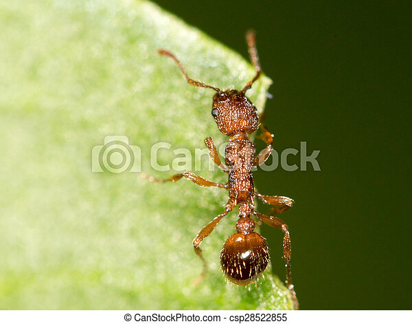 Ant on a green leaf. close - csp28522855