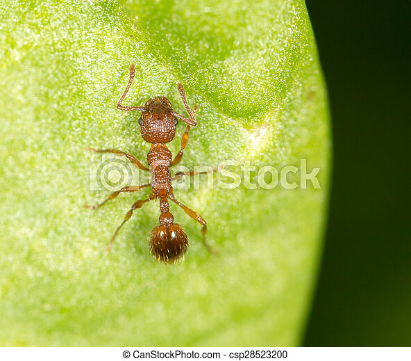 Ant on a green leaf. close - csp28523200