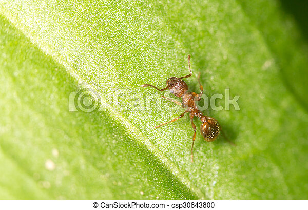 Ant on a green leaf. close - csp30843800