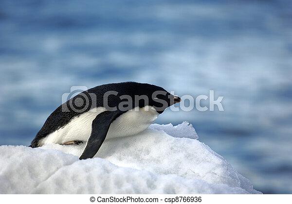 Antarctic Penguins - csp8766936
