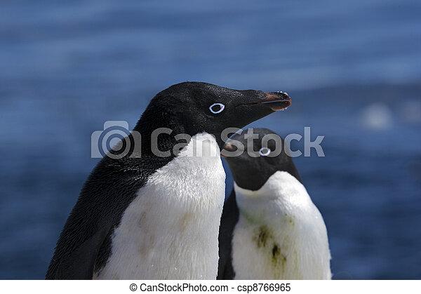 Antarctic Penguins - csp8766965