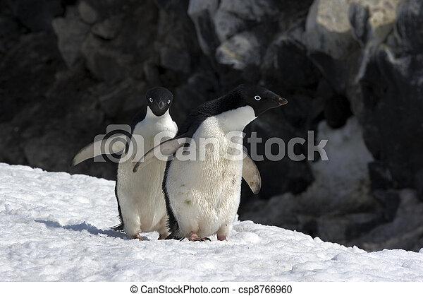 Antarctic Penguins - csp8766960