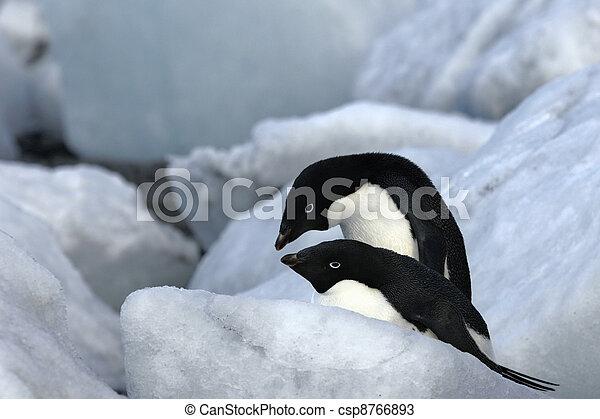 Antarctic Penguins - csp8766893