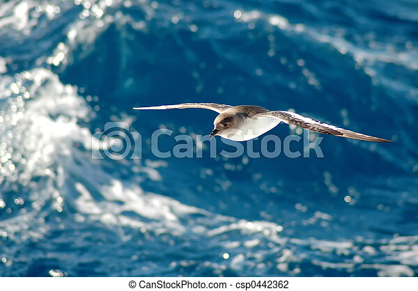 Antarctic petrel - csp0442362