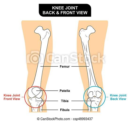 Anterior, anatomía, coyuntura, trasero, rodilla, vista. Anterior ...