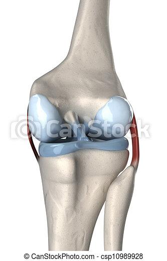 Anterior and posterior cruciate ligament anatomy - csp10989928