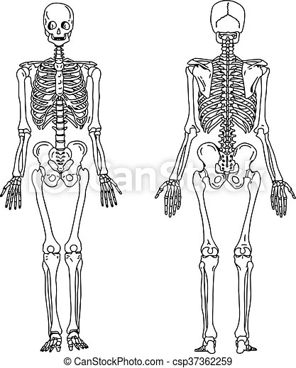 Anterior, empate, esqueleto, system., huesudo, ilustración, mano ...